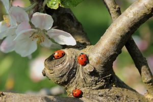 My Fair Ladybug: Be Prepared For These Overwintering Pests